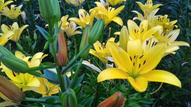千種公園(名古屋市千種区)ゆり園の満開のゆり黄色