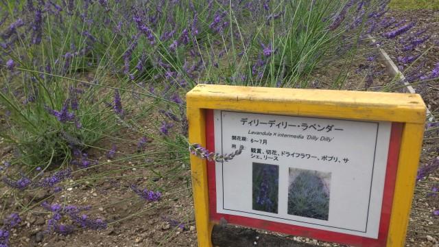 荒子川公園(名古屋市港区)のラベンダー見本園アラビアンナイトラベンダー
