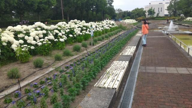荒子川公園(名古屋市港区)のサンクガーデンの白いあじさい