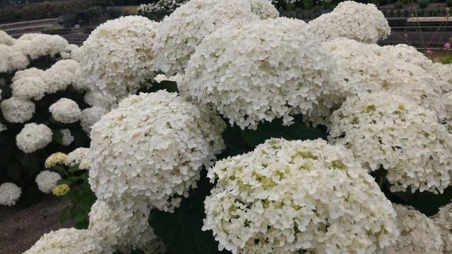 荒子川公園の白いあじさい・ラベンダーとともに6月中が見ごろ2017年(名古屋市港区)