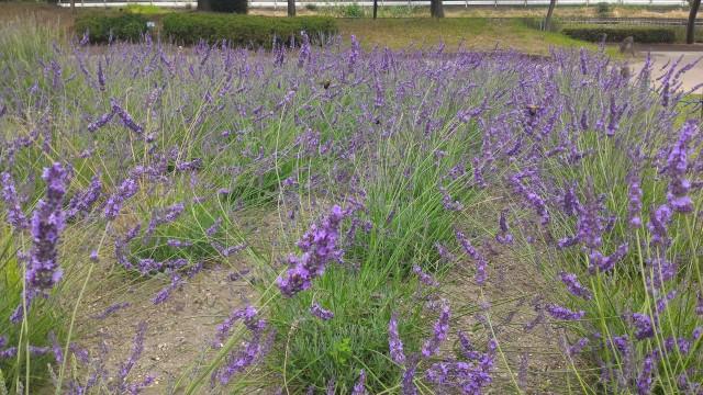 荒子川公園(名古屋市港区)のラベンダー園蜂も蜜をすいに