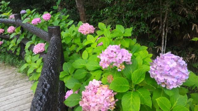岩屋堂公園(愛知瀬戸市)水(川)遊び天然プール付近にはあじさい咲く