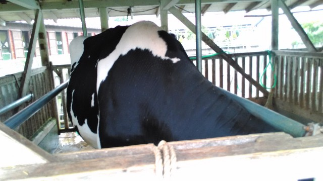 酪農王国オラッチェの見学できる牛