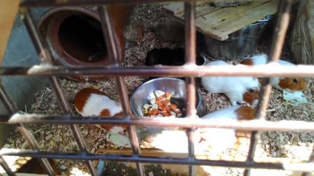 小牧市民四季の森の「ちびっこ動物村」のモルモット