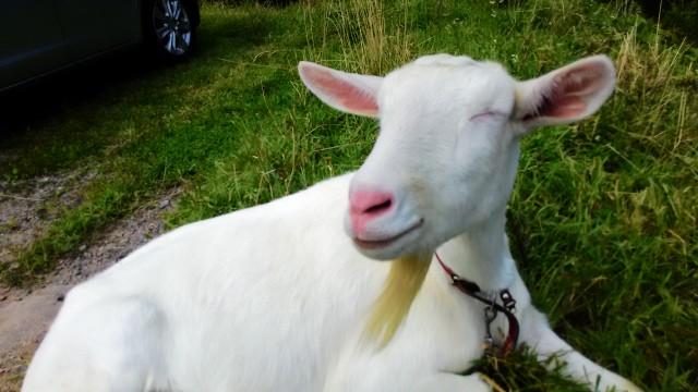 茶臼山高原の白いヤギ大きい方