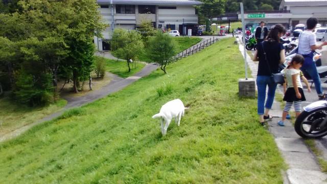 茶臼山高原の白いヤギ小さい方