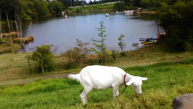 茶臼山高原の白いヤギ草をはむ
