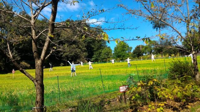 日本昭和村(岐阜県美濃加茂市)のたんぼ、かかしがいろんなポーズでたくさん立っている