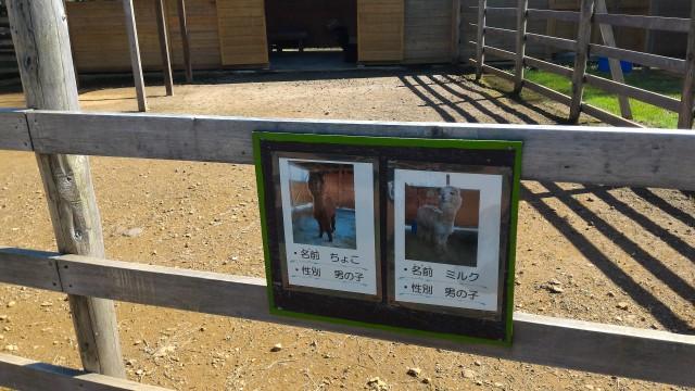 日本昭和村のふれあい牧場のアルパカ