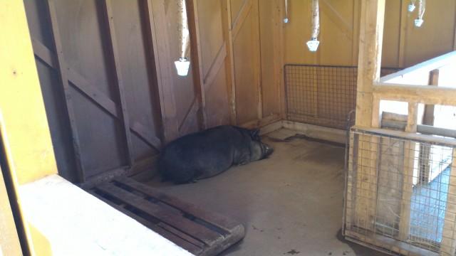 日本昭和村のふれあい牧場の「まきばのお家」で昼寝中のぶた