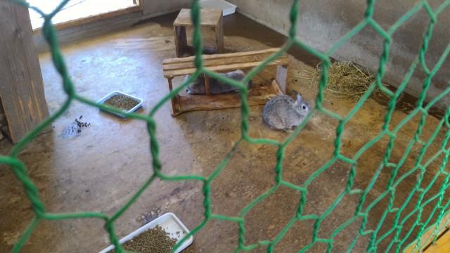 日本昭和村のふれあい牧場のまきばの家のうさぎ