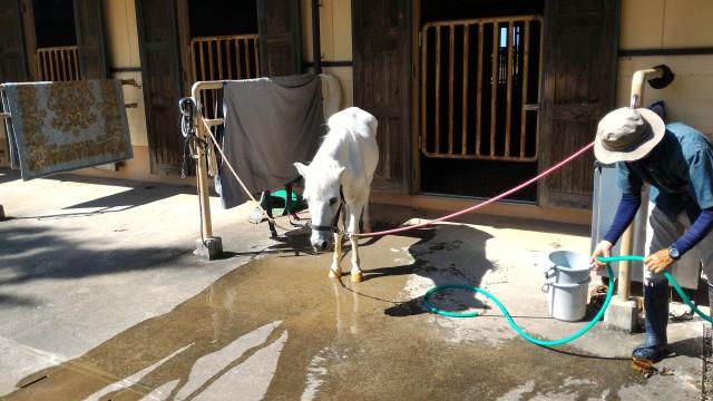 日本昭和村のふれあい牧場・馬舎で手入れしてもらっている