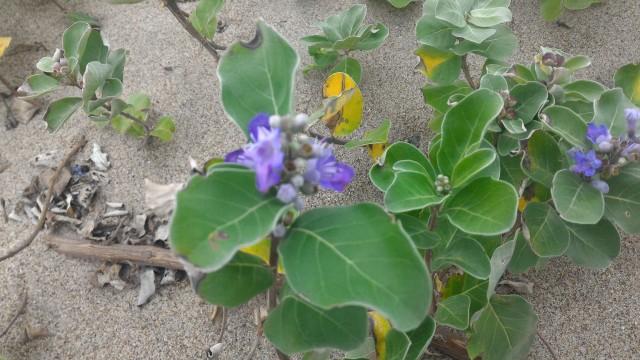 愛知県伊良湖岬の恋路ヶ浜に咲く紫の花