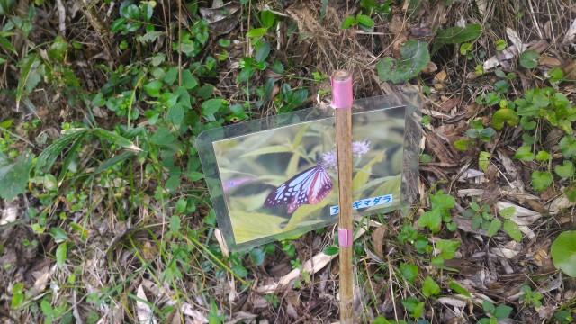 伊良湖岬・裏山散策経路で蝶の飛来について