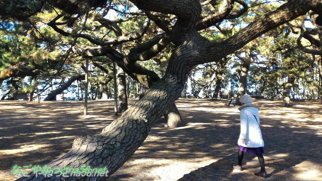 富士山世界文化遺産の構成資産に登録された三保の松、海岸にほど近い巨木の松
