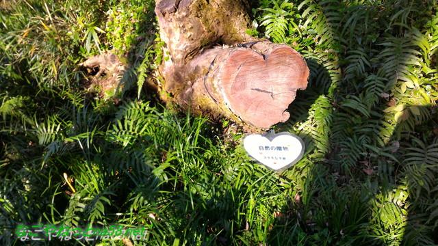 天然記念物柿田川湧水の散策路にあるハート形の切り株