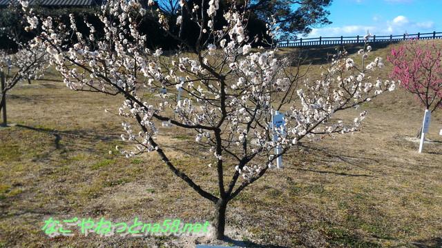 佐布里池の梅林(愛知県知多市)の佐布里梅