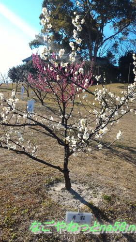 佐布里池の梅林(愛知県知多市)月影という名前の梅