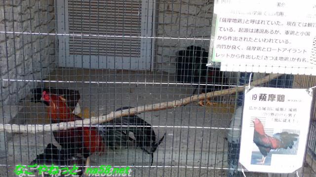 名古屋市農業センター(でらファーム)で飼育されている薩摩鶏