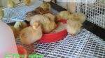 生まれたてのひよこ(動画あり)鶏に詳しい農業センター(名古屋市天白区)