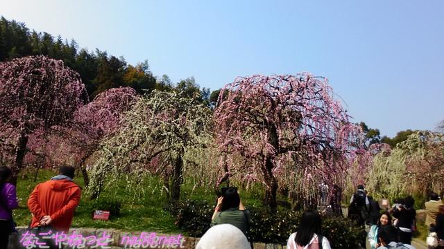 名古屋市農業センターでらファームのしだれ梅まつり梅園写真をとる