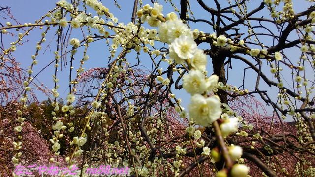 名古屋市農業センターでらファームのしだれ梅まつり白い八重咲の梅