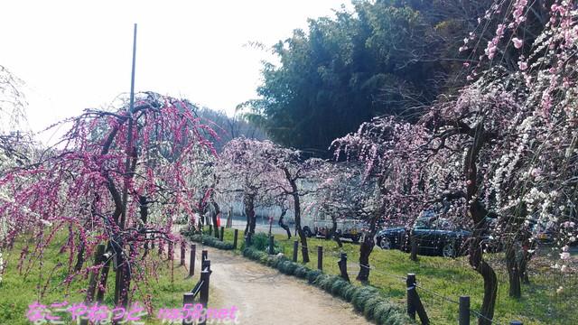 名古屋市農業センターでらファームのしだれ梅まつり梅園