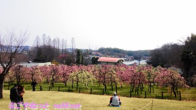 名古屋市農業センターでらファームのしだれ梅まつり梅園を見下ろす