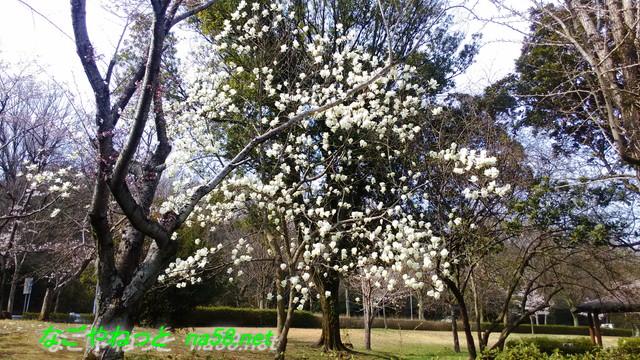 名古屋市平和公園の桜の園にあった白モクレン