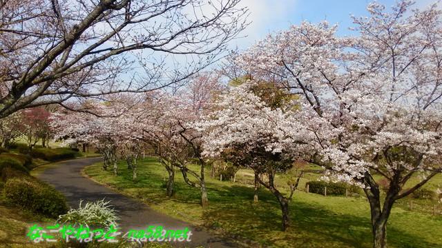 名古屋市平和公園桜の園の桜
