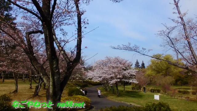 名古屋市平和公園桜の園の桜小高い場所から