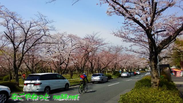 名古屋市平和公園桜の園路上駐車OK