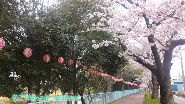 名古屋市天白区天白川(植田川)桜花見提灯