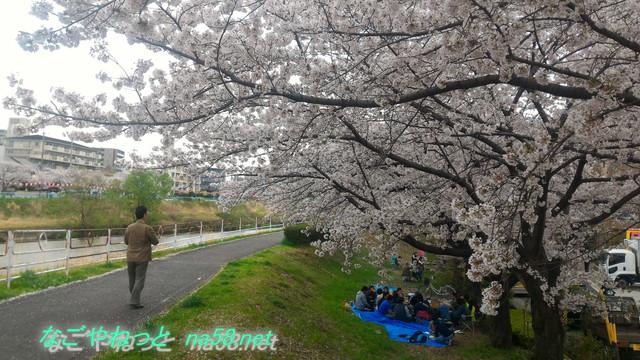 名古屋市天白区天白川(植田川)桜バーベキューする人