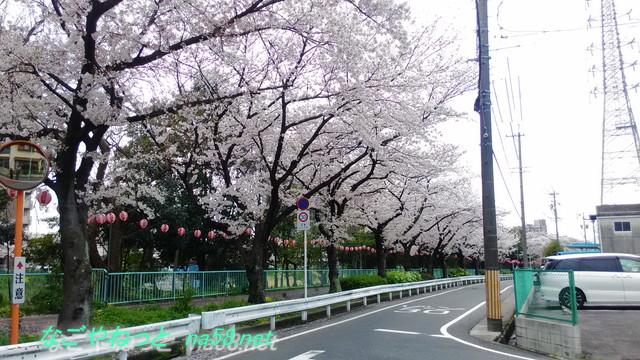 名古屋市天白区天白川(植田川)桜
