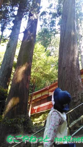 愛知県新城市鳳来山の東照宮にある巨大な杉の木