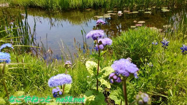 名古屋市港区フラワーガーデン「ブルーボネット」水辺の花