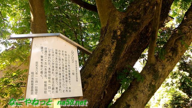 愛知県稲沢市性海寺あじさいまつり・市天然記念物ムクロジ