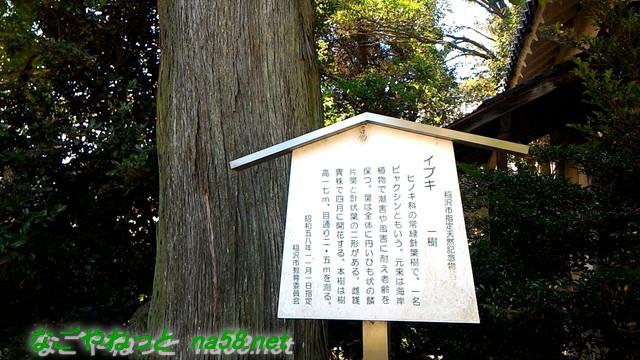 愛知県稲沢市性海寺あじさいまつり・市天然記念物イブキ