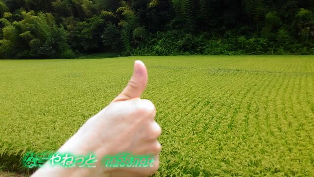 王滝渓谷の稲でいいね!(愛知県豊田市)