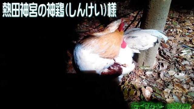 名古屋熱田神宮の神鶏様