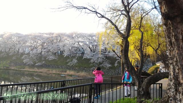 名古屋城の西側のお堀から南の桜を