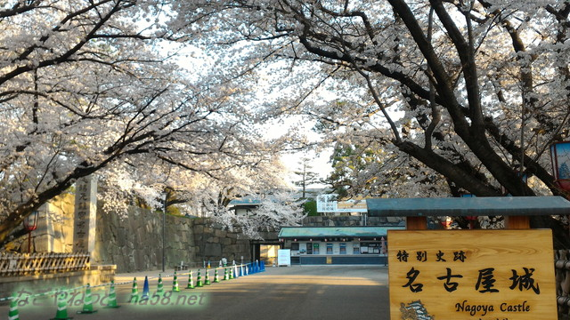 名古屋城正門と満開のソメイヨシノ