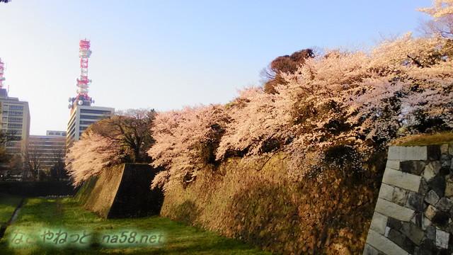 名古屋城お堀の満開のソメイヨシノ、官庁街をバックに