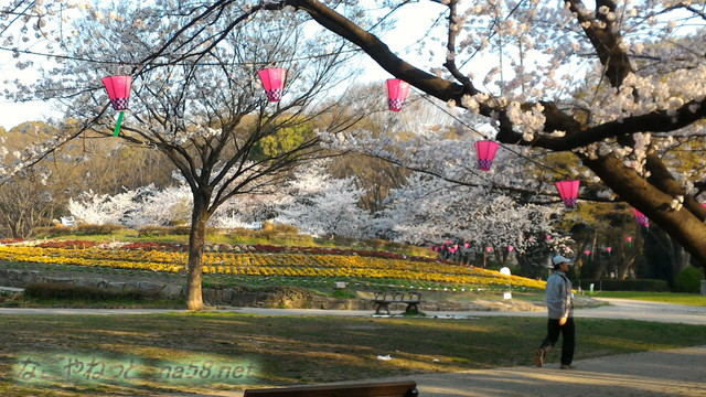 名城公園お花見席付近の満開のソメイヨシノ芝生広場