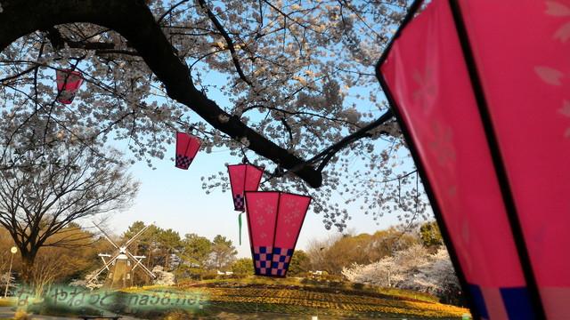 名城公園お花見席付近の満開のソメイヨシノ提灯