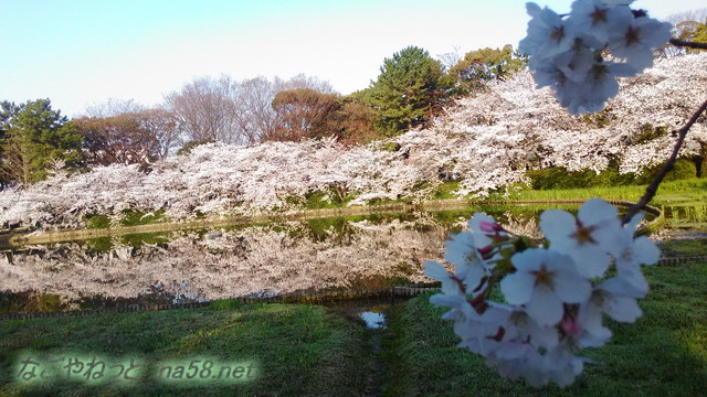 名城公園の池に映る満開のソメイヨシノ