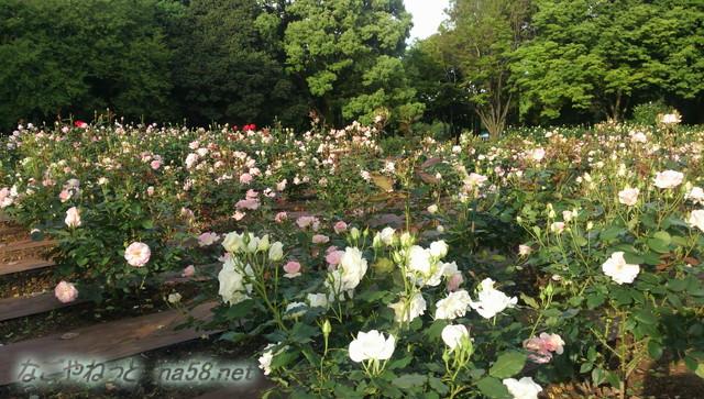 名古屋市西区庄内緑地公園のバラ園5月
