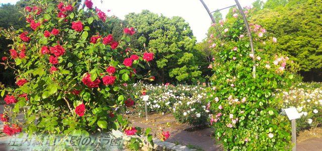 庄内緑地公園のバラ園・見ごろ5月の今(入園無料)名古屋市西区