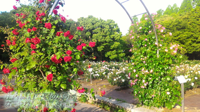 愛知県名古屋市西区山田町 庄内緑地公園のバラ園